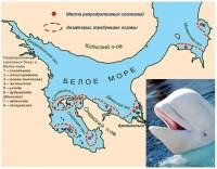 Расположение локальных материнских стад белух (Delphinaterus leucas Pall.) – критических мест их обитания в Белом море (I –VIII)